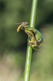 Fliege auf Frosch